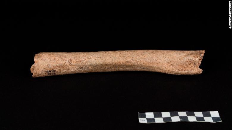 Femur of the Hohlenstein-Stadel Neanderthal.