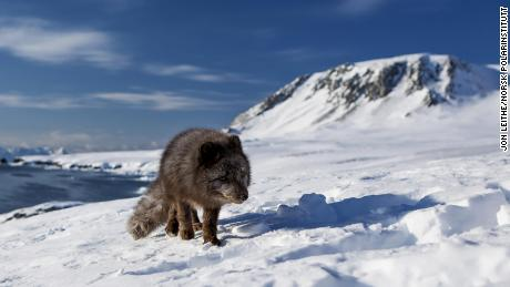 The young female arctic fox covered an incredible distance.