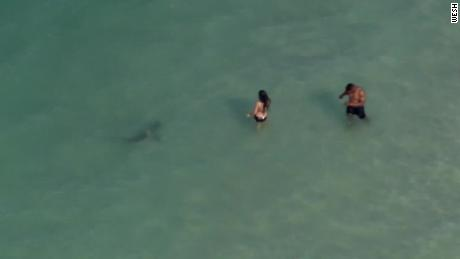 Great white sharks have been spotted near Cape Cod  They're