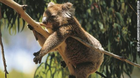 Chlamydia is rampant in the primary koala habitat in New South Wales and Queensland.