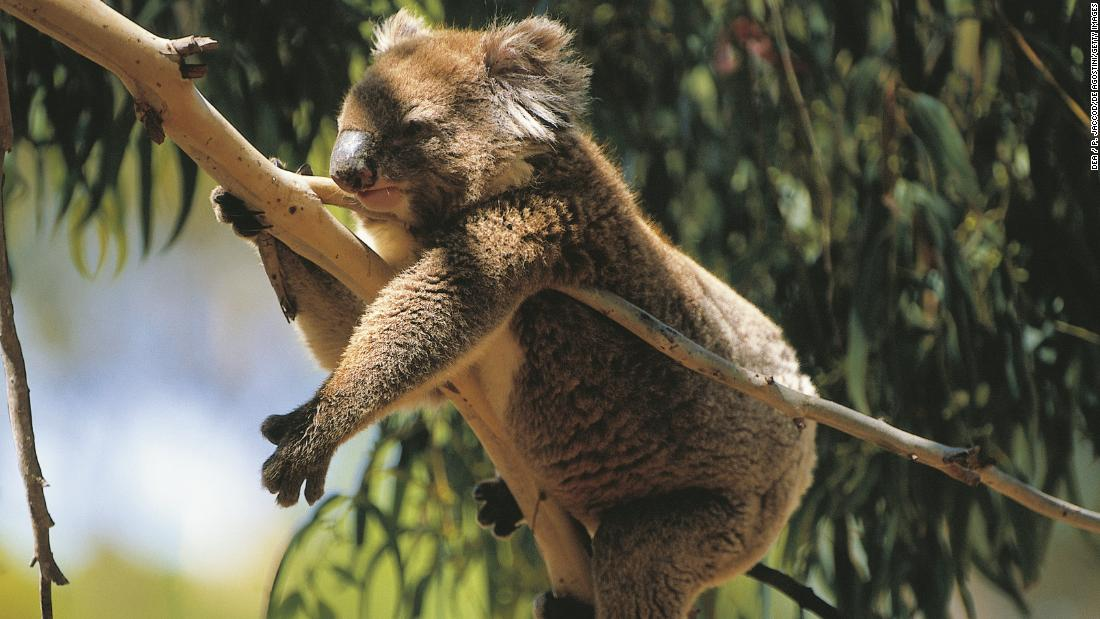 Researchers have found a population of koalas that could be key to saving the species