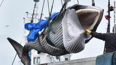 A captured minke whale is lifted by a crane into a truck bed at a port in Kushiro, Hokkaido Prefecture on July 1, 2019. - Japanese whalers brought ashore their first catches on July 1 as they resumed commercial hunting after a three-decade hiatus, brushing aside criticism from activists who say the practice is cruel and outdated. (Photo by Kazuhiro NOGI / AFP)        (Photo credit should read KAZUHIRO NOGI/AFP/Getty Images)