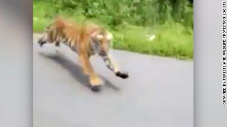 Tiger caught on camera chasing motorcycle