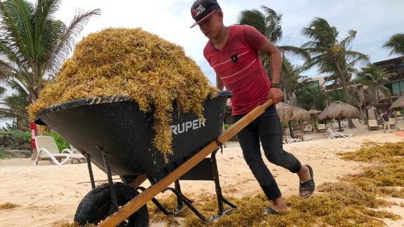A worker uses a rake to clean up piles of  sargassum, a seaweed-like algae, from a beach on June 15, 2019 in Tulum, Mexico.
