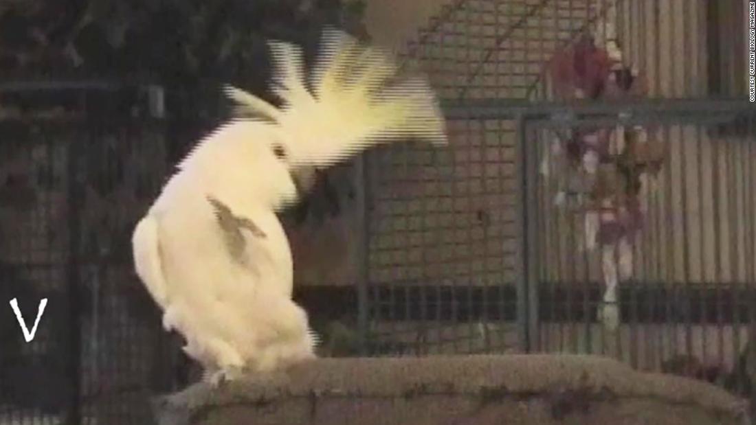 Head-banging cockatoo teaches itself to dance