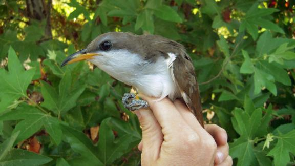 This August, 2013 photo provided by Point Blue Conservation Science shows a yellow-billed cuckoo, which has made the western United States its breeding ground for many years. But the migratory bird, which otherwise lives in Latin America, has seen its population dwindle in the past few decades because its habitats have been marred. NThe U.S. Fish and Wildlife Service on Thursday, Oct. 2, 2014, announced that the western population of the yellow-billed cuckoo has been listed as a threatened species and will be protected under the Endangered Species Act. The bird resides in 12 western states and in Mexico and Canada, but Arizona has the largest population. (AP Photo/Point Blue Conservation Science, Mark Dettling)