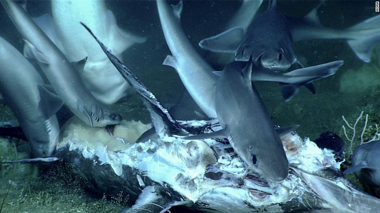 A number of sharks gathered for a deep-sea feeding frenzy.