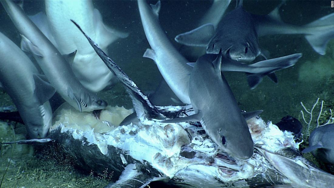 シャーク飲み込んだ全体の中でも稀にみる深海の宴