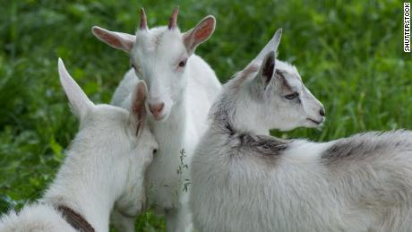 Goats can differentiate between emotions in bleats of each other, study results