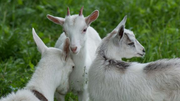 """Positive"" and ""negative"" goat calls were recorded for the study, and played to other goats in order to measure their response."