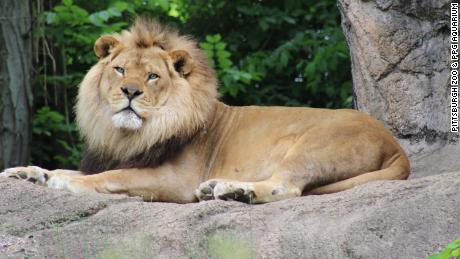 Pittsburgh's beloved African lion Razi was diagnosed with epilepsy in 2013.