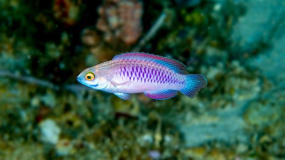 """This fish is called Cirrhilabrus wakanda, or the Vibranium fairy wrasse -- a nod to the fictional country and metal featured in the Marvel movie  """"Black Panther."""""""