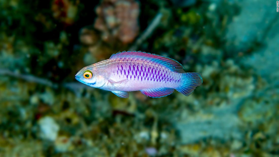 "This fish is called Cirrhilabrus wakanda, or the Vibranium fairy wrasse -- a nod to the fictional country and metal featured in the Marvel movie  ""Black Panther."""