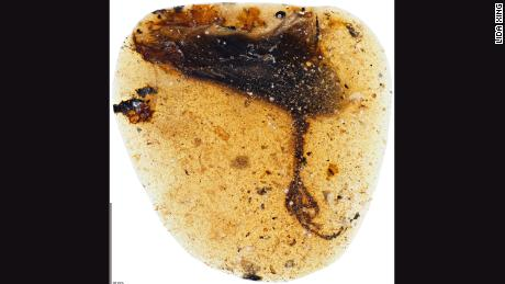 A bird's left wing tip and unusual foot was trapped in amber 99 million years ago.