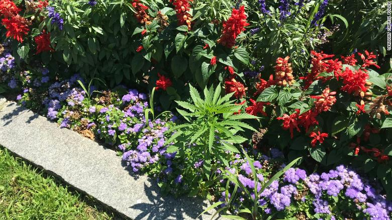 Peachy Possible Cannabis Plants Found At State Capitol Building Download Free Architecture Designs Scobabritishbridgeorg