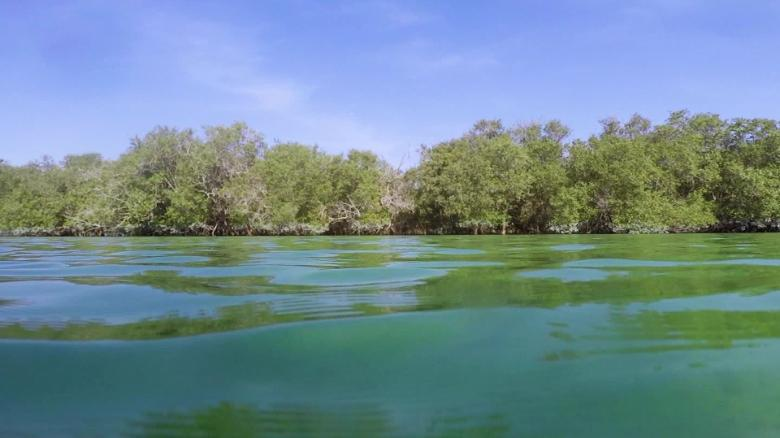 Abu Dhabi is replanting mangroves in the fight against climate change