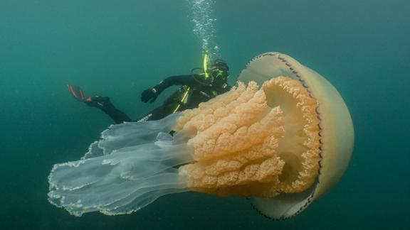 8b6aadf9c Giant jellyfish the size of a human spotted by divers off English ...