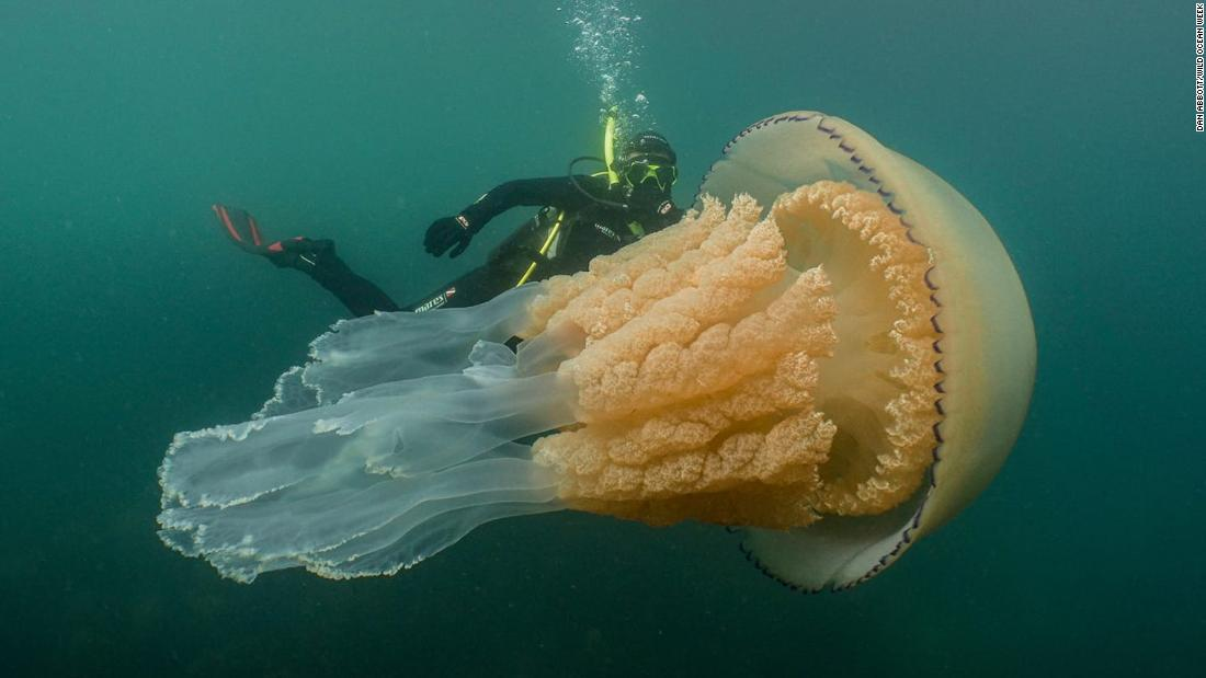 Spotted: A giant jellyfish the size of a human