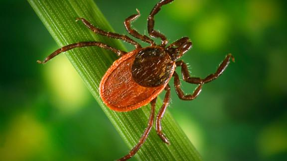Blacklegged tick (Ixodes pacificus) on a leaf, carrier of the Lyme disease, 2005.