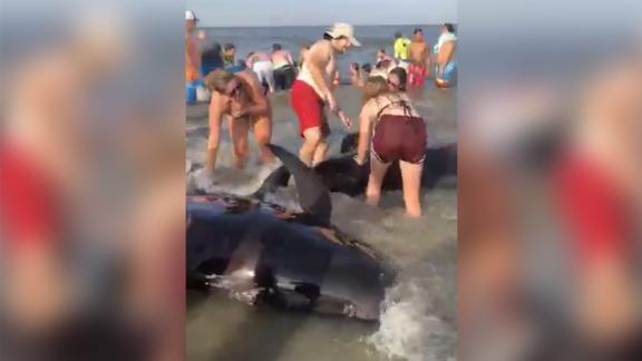 Image for Dozens of beachgoers helped save a pod of beached whales