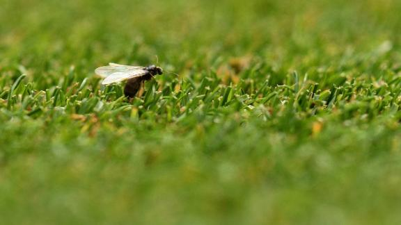A flying ant is pictured as US player Serena Williams prepares to play against Bulgaria's Viktoriya during their women's singles second round match on the third day of the 2018 Wimbledon Championships at The All England Lawn Tennis Club in Wimbledon, southwest London, on July 4, 2018. (Photo by Oli SCARFF / AFP) / RESTRICTED TO EDITORIAL USE        (Photo credit should read OLI SCARFF/AFP/Getty Images)