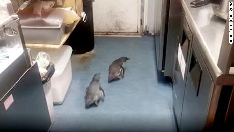 Pair of penguins waddles into New Zealand sushi spot