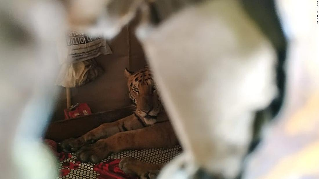 Tiger takes catnap on bed in Indian home after fleeing huge floods