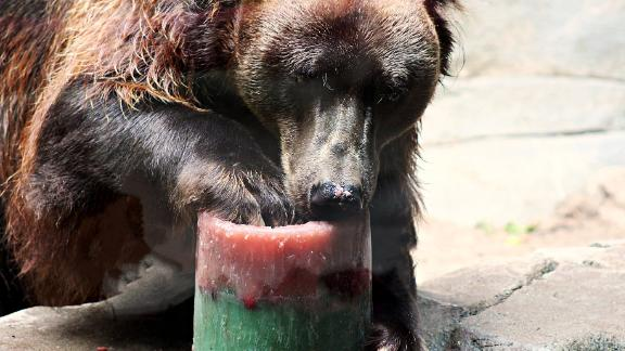 A bear at the John Ball Zoo in Grand Rapids, Michigan, licks an icy treat.