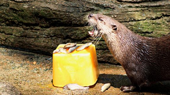 An otter at the John Ball Zoo in Michigan is treated to cold fish on a hot day.