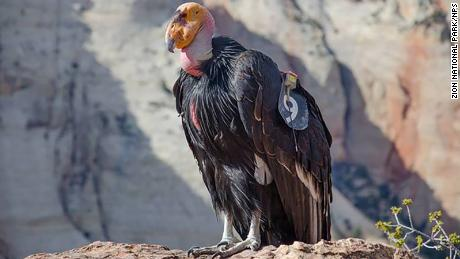 In May, California condor 409 (pictured) hatched the 1,000th condor chick since efforts to recover the critically endangered species began in the 1980s.