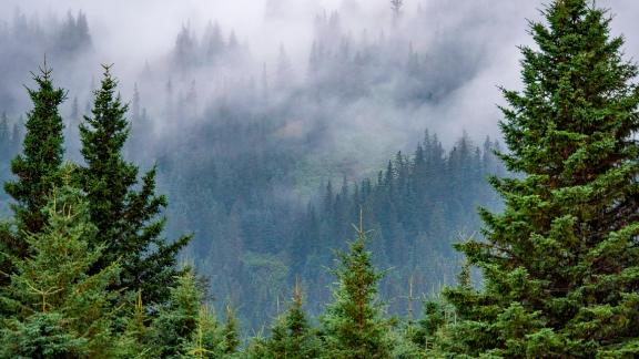 Scenic view and Douglas fir also known as Douglas-fir and Oregon pine, Pseudotsuga menziesii, South Central Alaska. United States of America. (Photo by: Education Images/Universal Images Group via Getty Images)