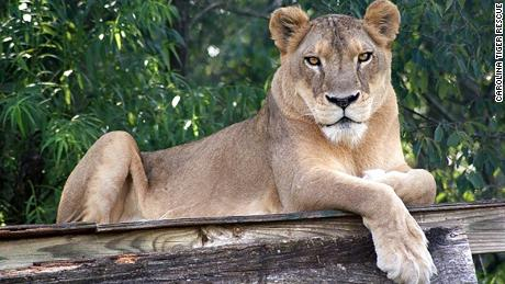 Heat proves deadly for a lion in a North Carolina park