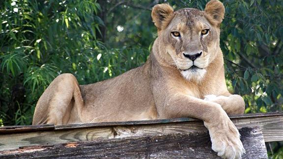 Sheba's old age paired with the extreme heat impeded her ability to recover.