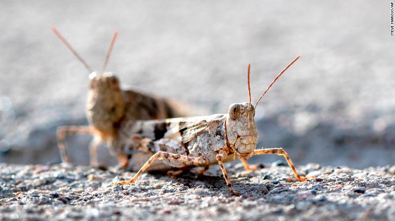 Grasshopper infestation ile ilgili görsel sonucu