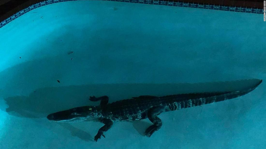 Alligators caught climbing fences and swimming across roads in Florida