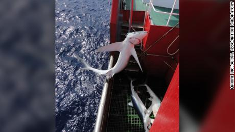 A blue shark caught by a longline in the Atlantic Ocean.