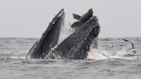 Photographer Chase Dekker has been watching whales his whole life but does not expect to see this ever again.
