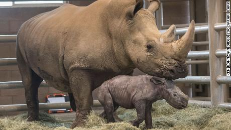 Victoria the southern white rhino and her calf.