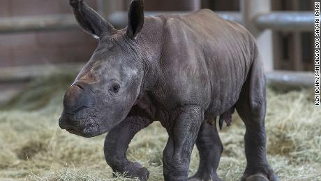 A day-old southern white rhino calf stands on wobbly legs at the Nikita Kahn Rhino Rescue Center at the San Diego Zoo Safari Park.