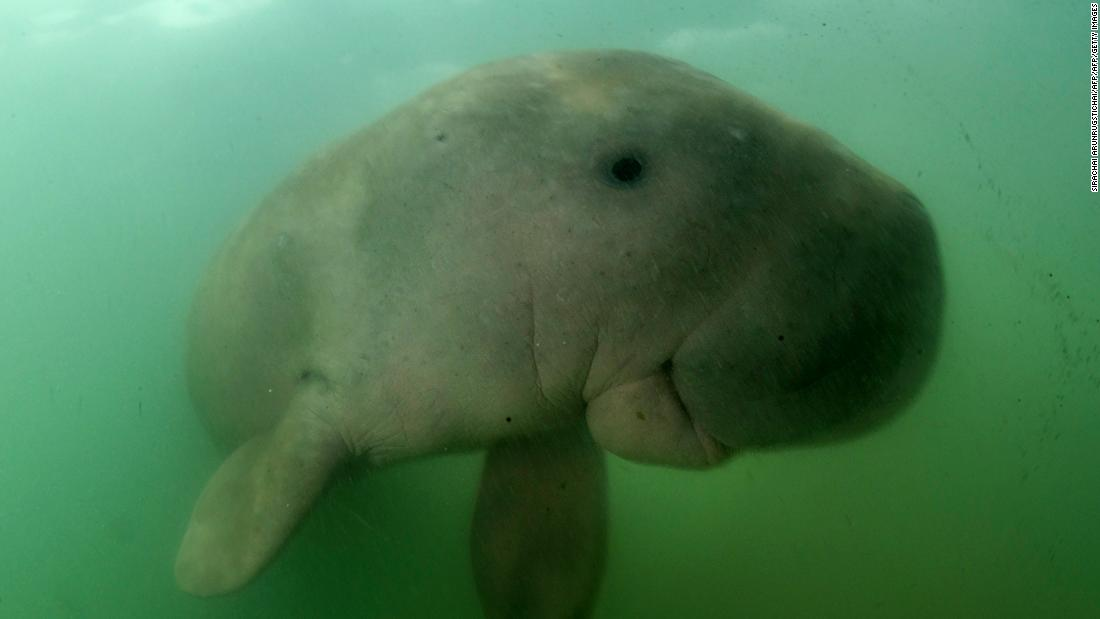 A baby dugong that became a Thai internet star died with plastic waste in its stomach