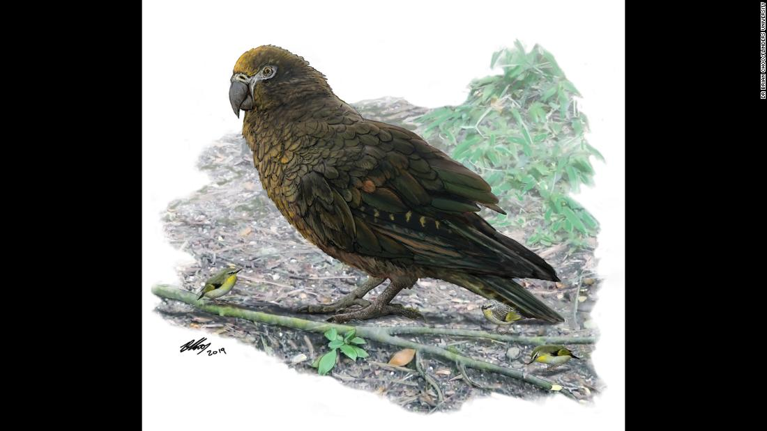 The world's largest parrot, Heracles inexpectatus, lived 19 million years ago in New Zealand. It was over 3 feet tall and weighed more than 15 pounds.