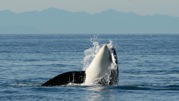 L84 was the last of a female lineage of 11 whales, 10 of whom have died.