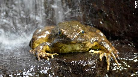 Scientists have discovered that Goliath frogs (Conraua goliath) move heavy rocks to create ponds for their offspring.
