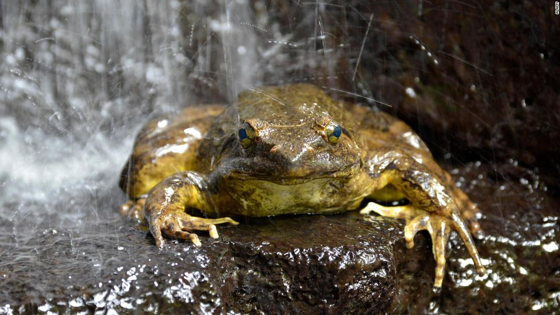 World's biggest frogs are so strong they move heavy rocks to build their own ponds