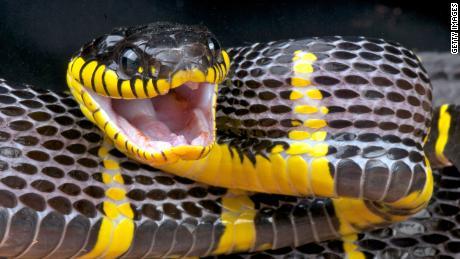 A 'mildly venomous' snake slithered loose inside the Bronx
