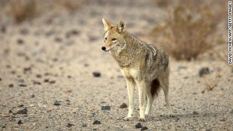 M-44s are meant to defend livestock and protected species from predators like coyotes.