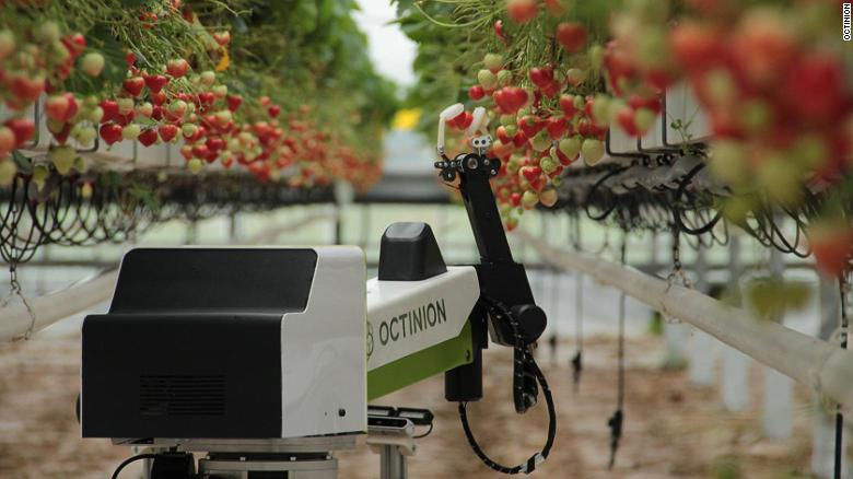 Octinion's robot picks one strawberry every five seconds