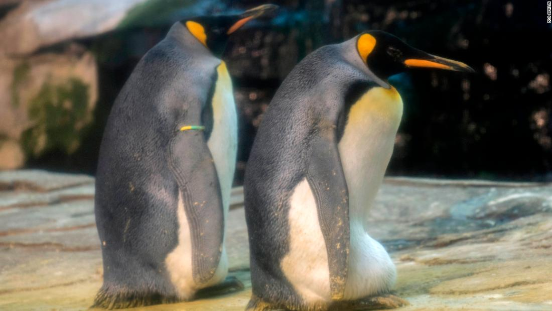 A gay penguin couple adopted an egg in a Berlin zoo
