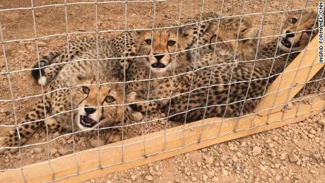 Three cheetahs rescued in a CCF safe. About 300 cubes are smuggled in from Somaliland every year.