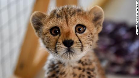 The ultra-rich are illegally buying cheetahs as pets and it's leading to their extinction